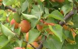 Abricot rouge du Rousillon (crédit photo F3LR)